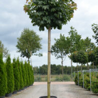 (Polski) ACER PLATANOIDES GLOBOSUM – SZTAMA (KLON POSPOLITY)